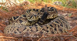 eastern diamondback rattlesnake (crotalus adamanteus) coiled in strike pose, tongue out and up, rattle next to head, on long leaf pine tree needles
