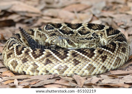 Eastern Diamondback Rattlesnake (Crotalus adamanteus) in Florida