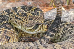 Eastern diamondback rattlesnake - crotalus adamanteus in sideways strike pose with tongue out and up, rattle next to head and face in north central Florida
