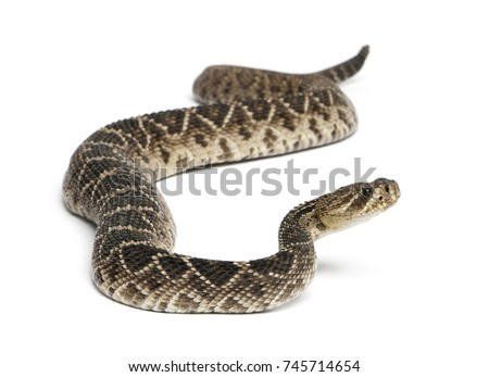 eastern diamondback rattlesnake - Crotalus adamanteus , poisonous snake, white background - Shutterstock ID 745714654