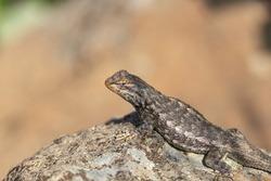 Eastern fence lizard sunning on rock