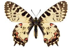Eastern Festoon (Allancastria cerisyi ferdinandi, female), yellow black butterfly from Greece isolated on white background