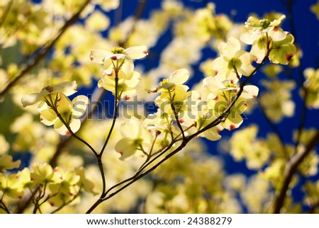Eastern flowering dogwood tree cornus florida ez canvas eastern flowering dogwood tree cornus florida mightylinksfo