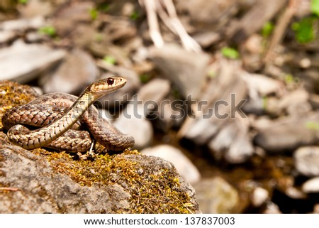 Eastern Garter Snake - stock photo