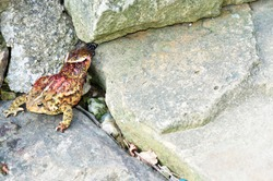 Eastern Garter Snake attempting to consume an American Toad, Webster County, West Virginia, USA