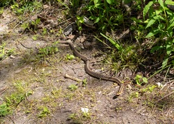 Eastern gartersnake - Thamnophis sirtalis sirtalis - slithering on the side of a trail path in Ontario, Canada.