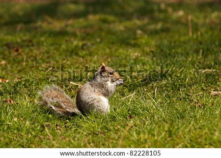 Eastern Gray Squirrel, animal eating a nut