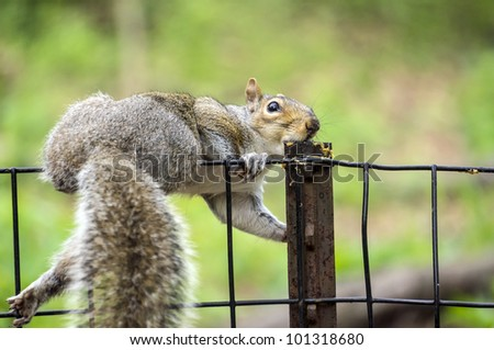 eastern gray squirrel  eating peanut butter off fence in Central Park, New York City