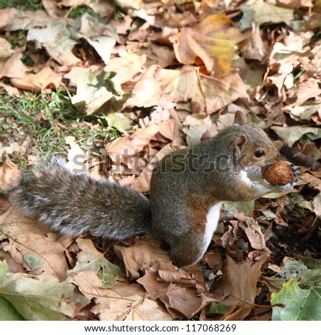 Eastern gray squirrel holding a walnut in a forest