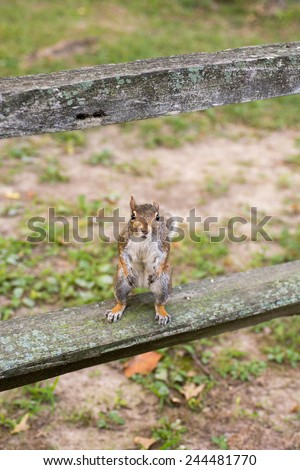 Eastern gray squirrel sitting on a fence post in a park in the midwest