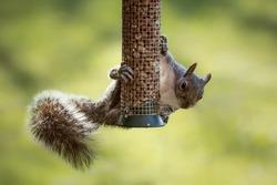 Eastern gray squirrel stealing nuts from a Northumberland garden peanut bird feeder
