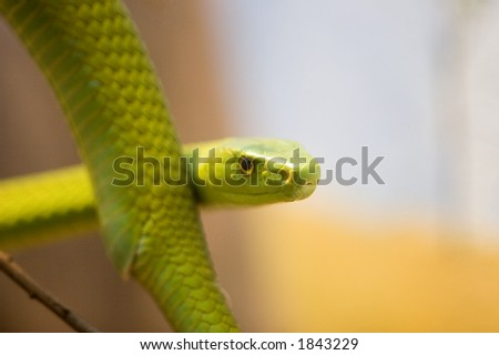 Eastern green mambas are the smallest of the mambas. Green mambas reach an average of length of 1.8 meters, with a maximum length of up to 3.7 meters.