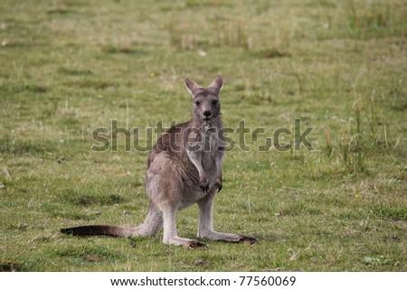 Eastern Grey Gray Kangaroo Macropus giganteus