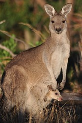 Eastern grey kangaroo with baby in the pouch