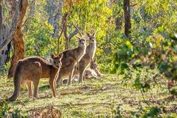 Eastern Grey Kangaroos at Mt Mugga Mugga Nature Reserve, ACT, Australia on an autumn morning in April 2020