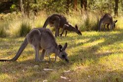 Eastern Grey Kangaroos (Macropus Giganteus). Blue Mountains. Australia