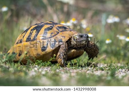 Eastern Hermann's tortoise - Testudo hermanni boettgeri. Hermann's tortoises are small to medium-sized tortoises from southern Europe. Stock photo ©