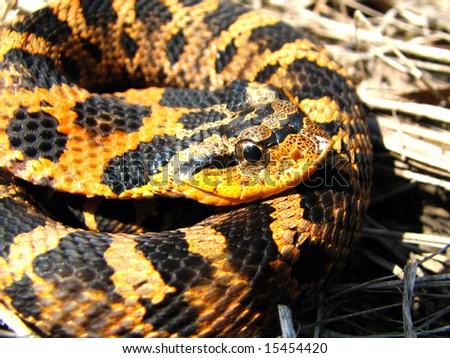 Eastern Hog-nosed Snake in Ontario, Canada