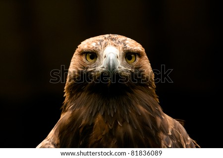 Eastern Imperial Eagle frontal closeup - stock photo