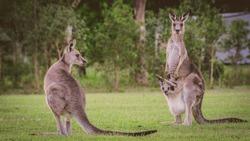 Eastern Kangaroos in the wild