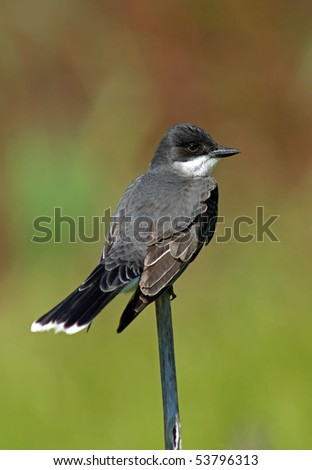 Eastern Kingbird (Tyrannus tyrannus) perched on a branch against a soft colorful background.