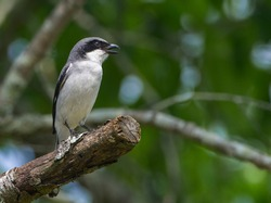 eastern loggerhead shrike (Lanius ludovicianus) perched on oak tree cut branch in springtime, looking right while hunting, mouth open, green tree leaves bokeh background