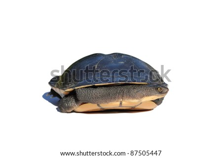Eastern Long Neck Turtle isolated on white