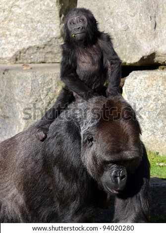 Eastern lowland Gorilla and baby - stock photo