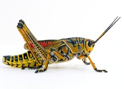 Eastern Lubber Grasshopper white background