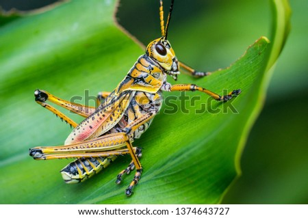 Eastern lubber grasshoppers are found throughout the southern USA. They are voracious plant eaters, and have few predators due to a foul smelling secretion. #1374643727