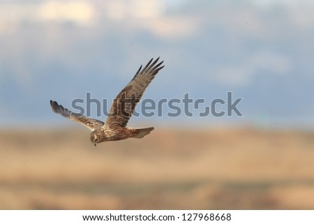 Eastern marsh harrier (Circus spilonotus) flying in japan - stock photo