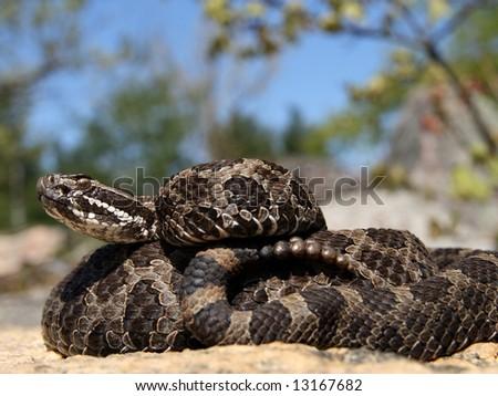 Eastern Massasauga Rattlesnake (Sistrurus catenatus catenatus) from Ontario, Canada