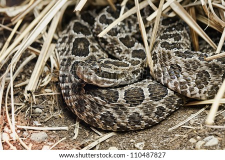 Eastern Massasauga Sistrurus catenatus catenatus is a small rattlesnake native to an area that from western New York and southern Ontario to southern Iowa and  northeastern Missouri