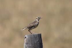 Eastern Meadowlark (immature) standing on a fence post