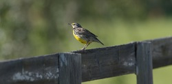 Eastern meadowlark perched on wood fence with morning back light