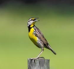 eastern meadowlark (Sturnella magna) perched on wood fence post looking behind with mouth wide open, yellow breast striped through eye, green yellow dark layered background