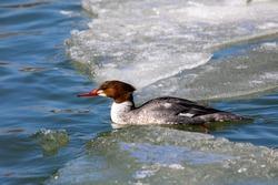 Eastern North American bird Common Merganser, sea duck - Mergus merganser, called goosander in Eurasia. Hen on the river in winter during migration.