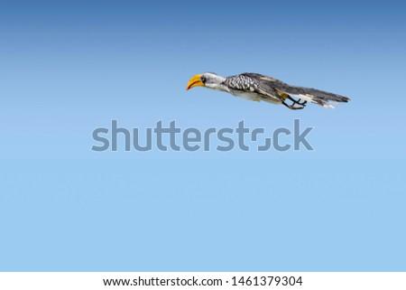 Eastern or Euroopean yellow-billed hornbill (Tockus flavirostris) in flight against blue sky