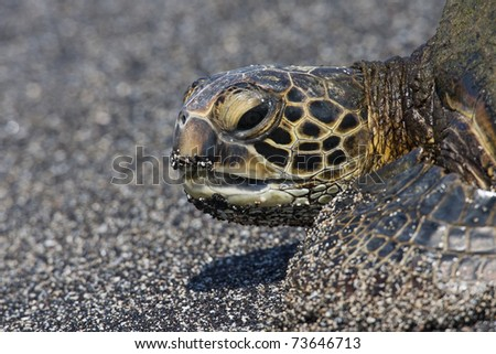 Eastern Pacific Green Sea Turtle (Chelonia mydas agassizii) resting on a sandy beach in Kaloko-Honokohau National Park in Hawaii.