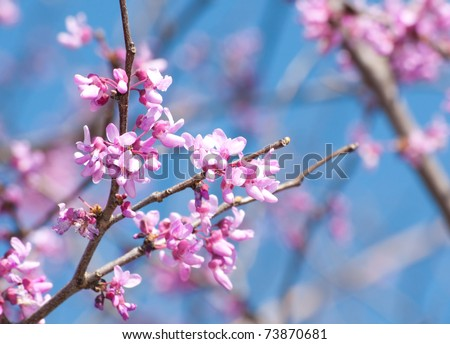 Eastern Redbud flowering in early spring - stock photo