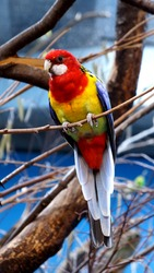 Eastern Rosella is a Rosella native to southeast of the Australian continent and to Tasmania. Rosella bird has res head and white cheeks and long 30 cm.