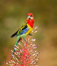 Eastern Rosella (Platycerus elegans ) native parrot like bird to the Eastern side of Australia