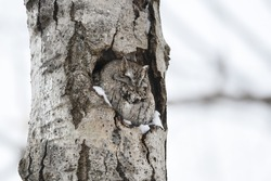 Eastern Screech-Owl Adult Sitting in a Tree Hole and Sleeping on Snowy Day in Winter