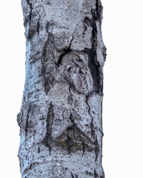 Eastern Screech-Owl Adult   Sitting in a Tree Hole in Winter on White Background, Isolated