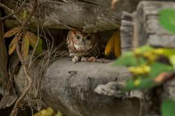 Eastern screech owl hiding between logs