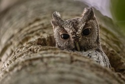 Eastern Screech Owl in a Palm Tree in Florida