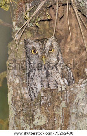 Eastern Screech-Owl in the wild of his habitat blending with surroundings due to  natural masking. Latin name -  Otus asio.