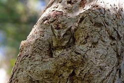 Eastern screech owl resting in a safe spot in a tree - camouflaged right into the bark!