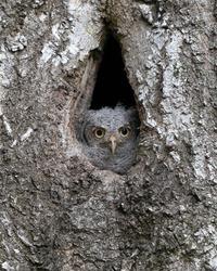 Eastern Screech Owlet at Nest Cavity