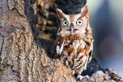 Eastern screech owls are found in two color